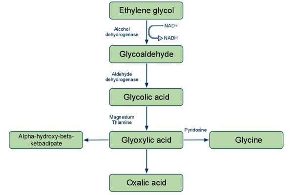 Ethylene glycol metabolism
