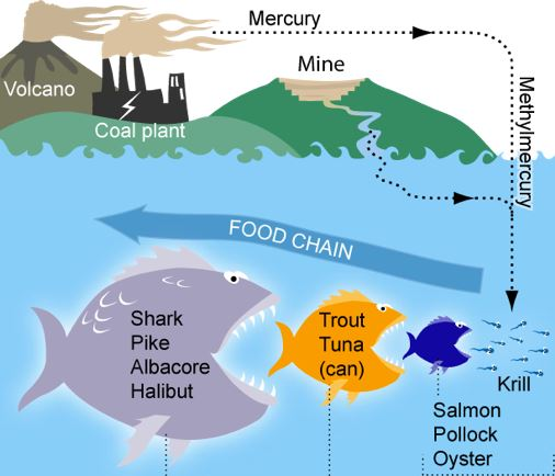 how do u get heavy metal toxicity Food chain
